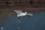 Garzetta , Little egret