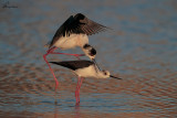 Accoppiamento di cavaliere d'Italia , Black-winged stilt mating