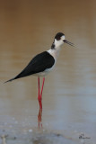 Cavliere d'italia , Black-winged stilt