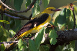 Rigogolo nascosto tra le foglie , Eurasian golden oriole hidden among the foliage