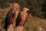 Aquile di mare , White-tailed eagle