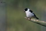 Balia dal collare , Collared flycatcher