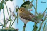 Luì verde , Wood warbler