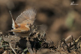 Usignolo d'Africa , Rufous bush robin