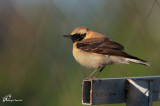 Monachella , Black-eared wheatear