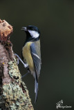 Cinciallegra , Great tit