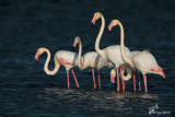 Fenicotteri rosa , Greater Flamingos