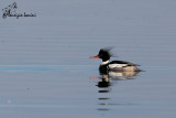 Smergo minore ,Red-breasted Merganser