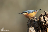 Picchio muratore, Wood nuthatch