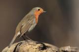 Pettirosso, Robin