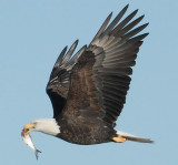 Vultures, Opsrey, Kites, Eagles, Hawks & Falcons