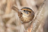 Towhees, Sparrows, Grosbeaks, Tanager, Bunting & Dickcissel