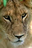 Lion at Masai Mara, Kenya