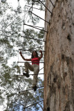 Climbing a giant tree, Australia