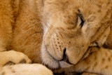 Lion cub, Lion Safari Park