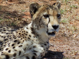 Cheetah, Lion Safari Park