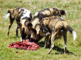 Wild dogs, Lion Safari Park