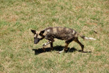 Wild dog, Lion Safari Park