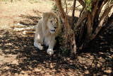Lion, Lion Safari Park
