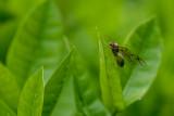 Queen red weaver ant