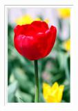 Niagara Tulip 4