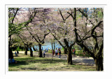 High Park Cherry Blossoms 1