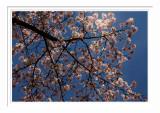 High Park Cherry Blossoms 2