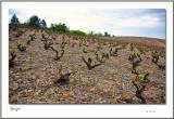 Beaujolais vignes