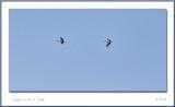 Cigognes en baie de Somme