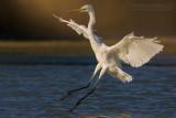 Great White Egret (Airone bianco maggiore)
