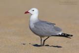 Audouin's Gull (Gabbiano corso)