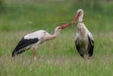 White Stork (Cicogna bianca)