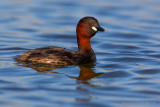 Little Grebe (Tuffetto)