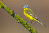 Blue-headed Yellow Wagtail (Motacilla flava flava)