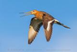 Black-tailed Godwit (Pittima reale)
