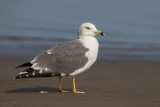 Black-tailed Gull (Gabbiano codanera)
