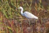 Chinese Egret (Garzetta cinese)