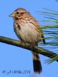 song_sparrows