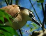 birds_found_in_asia__aussie___