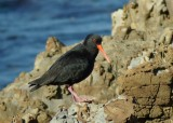 endemic_variable_oystercatchers