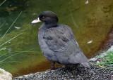 blue_ducks