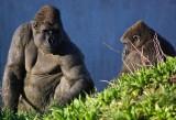 Gorilla chat.jpg