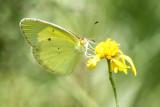 LIttle Yellow
