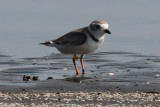 Piping Plover with bands