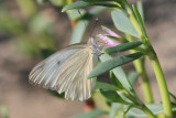 Great Southern White (?)