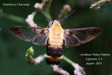 Snowberry Clearwing Moth, Hemaris diffinis