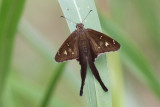 White-striped Longtail  #1