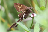 White-striped Longtail  #2