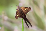 White-striped Longtail  #4