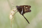White-striped Longtail  #5